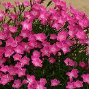 芳香四季咲きなでしこ:かほり3号ポット3株セット