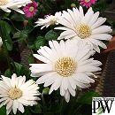 ガーデンガーベラ:エバーラスト ホワイト3号ロングポット