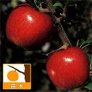 リンゴ:シナノスイート4号ポット