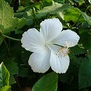 [17年5月中旬予約]ハイビスカス:ホワイトバタフライ(園芸種)3号ポット