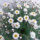 花かんざし(ヘリプテラム・ハナカンザシ)4号鉢植え