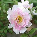 [17年5月中旬予約]八重咲きサンショウバラ5号ポットロサヒルツラ