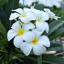 [6月中旬頃〜]プルメリア:シンガポールホワイト(オブツサ)4.5号ポット