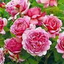 [送料無料][2017年母の日ギフト][予約]イングリッシュローズ:プリンセス・アレキサンドラ・オブ・ケント角鉢植