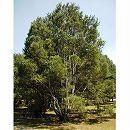 ハクショウ(白皮松・白松)樹高1m根巻き