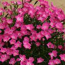 芳香四季咲きなでしこ:かほり3号ポット2株セット