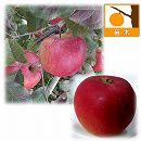 リンゴ2種セット:ふじ(富士)と紅玉(こうぎょく)