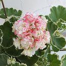 [3月下旬頃〜]ゼラニウム:ホワイトリング4.5号鉢植え
