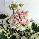[3月下旬頃〜]ゼラニウム:ホワイトウェディング4.5号鉢植え