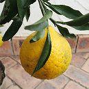 [2月上旬〜3月中旬収穫 さわやかな味・柑橘・かんきつ類苗木]はるか4〜5号ポット