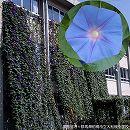 [17年4月中旬予約]アサガオ(イポメア):宿根朝顔ケープタウンブルー3.5号ポット12株セット