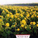 [タネ]景観形成作物:ヒマワリ・サンゴールドわい性 100g