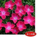 ナデシコ:花はなスカーレット3号ポット 24株セット