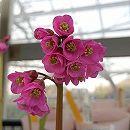 ヒマラヤユキノシタ:赤花3号12株セット