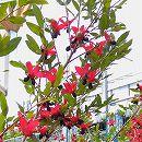 [実付き]ミッキーマウスの木(オクナ セルラータ)7号鉢植え