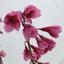 [タイワンザクラ・美しい緋紅色・2月中〜下旬咲・関東以南向き]桜:寒緋桜(カンヒザクラ)接木苗4号ポット