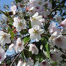 桜:染井吉野接木苗4〜5号ポット
