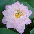 [17年5月中旬予約]花はす: 粉松球4.5号ポット