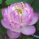 [17年5月中旬予約]花はす: 粉霞4.5号ポット