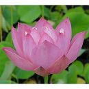 [17年5月中旬予約]花はす:即非蓮4.5号ポット