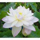 [17年5月中旬予約]花はす:菊花粉4.5号ポット