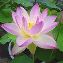 [17年5月中旬予約]花はす:小舞妃4.5号ポット
