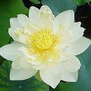 [17年5月中旬予約]花はす:クリスタルビューティー4.5号ポット