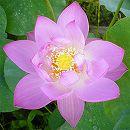 [17年5月中旬予約]花はす:嬌蓉碗蓮4.5号ポット