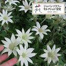 [3月上旬頃〜]フランネルフラワー:エンジェルスター4号鉢植え