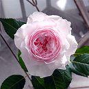 [17年2月中旬予約]F&Gローズ:みさき大苗6号鉢植え