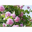 つるバラ:ラ フランス大苗6号鉢植え