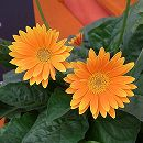 ガーデンガーベラ(ガルビネア):オレンジーナ3.5号ポット