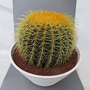 サボテンの王様:金シャチ10号素焼き鉢植え