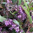 長尺つるもの:ハーデンベルギア紫花5号ポット長さ1.5m
