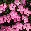 ナデシコ:花はなライトピンク3号ポット3株セット