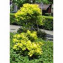 オウゴンモチノキ(黄金モチノキ)樹高1.5m根巻き