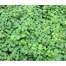 リシマキア緑葉3〜3.5号ポット20株セット