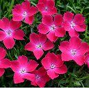 ナデシコ:花はなスカーレット3号ポット2株セット