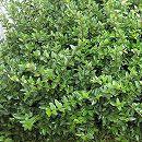 マット植物:ロニセラ:ニティダのマット25cm×25cm 6枚セット