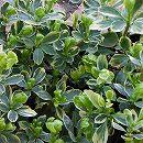 マット植物:斑入りフッキソウのマット25cm×25cm 6枚セット