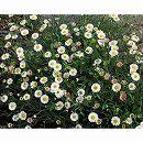 マット植物:エリゲロンのマット25cm×25cm 6枚セット