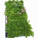 マット植物:シバザクラ ダニエルクッションのマット25cm×25cm 6枚セット