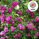 [17年5月中旬予約]つるバラ:ペレニアルブルー新苗