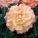 四季咲中輪バラ:ファミー新苗