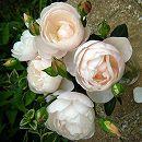 [17年5月中旬予約]デルバールローズ:ブリーズ新苗4号鉢植え