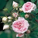 [17年5月中旬予約]つるバラ:ユキコ新苗