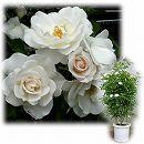 [バラ行燈予約]つるバラ:アイスバーグ8号大型アンドン仕立て