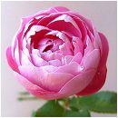 [バラ行燈予約]つるバラ:ラ・レーヌ・ビクトリア8号大型アンドン仕立て