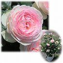 [バラ行燈予約]つるバラ:ピエール・ド・ロンサール8号大型アンドン仕立て
