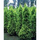 ニオイヒバ:ヨーロッパゴールド8号ルートバック樹高1m